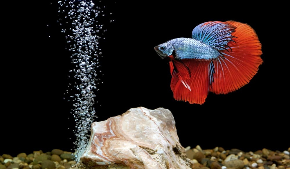 betta fish, siamese fighting fish in aquarium