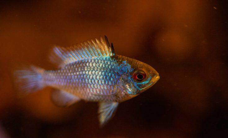Close up image of an Electric Blue Ram in a blackwater aquarium