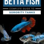 Female Betta Fish—Complete Guide to Sorority Tanks - Pin