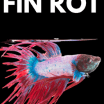 How to Identify and Treat Betta Fin Rot - Pin