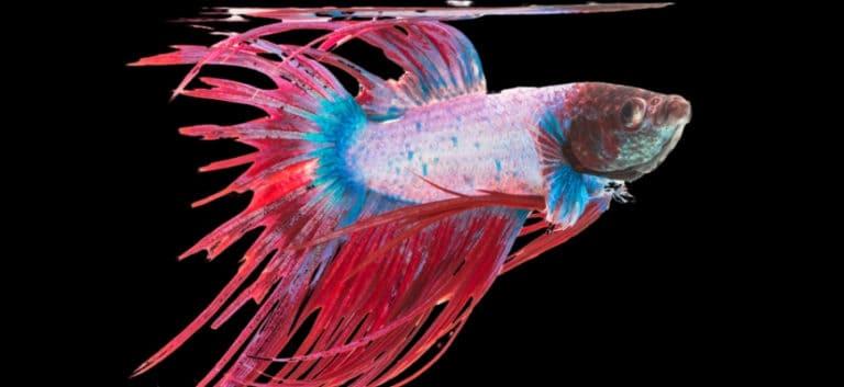Betta fish in black background.