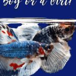 Is Your Betta a Boy or a Girl? - pin