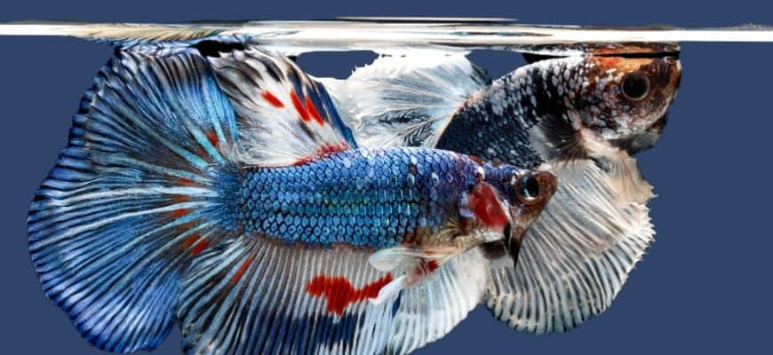 2 betta fishes swimming