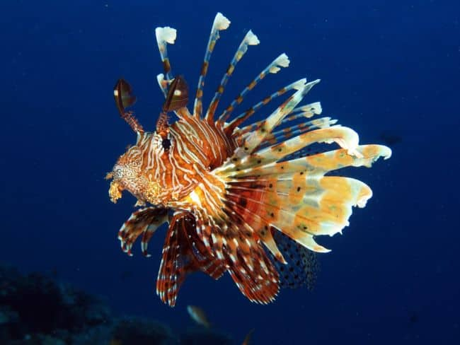 Lionfish in blue background.