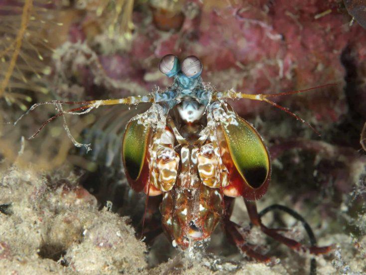 Peacock mantis shrimp in Bohol sea, Phlippines Islands