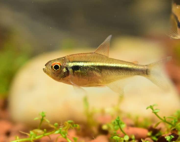 Moenkhausia pittieri young fish in aquarium