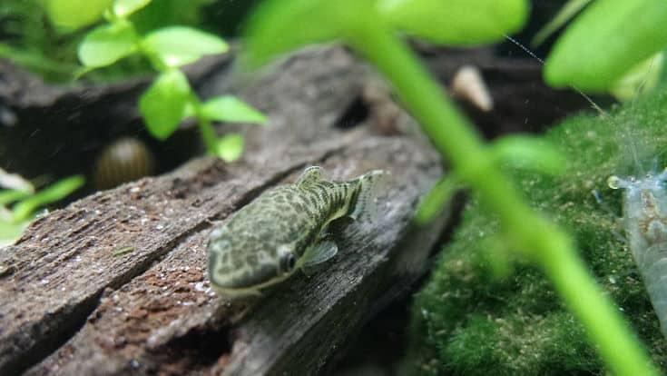 Otocinclus Catfish (Otocinclus sp.) on Malaysian driftwood