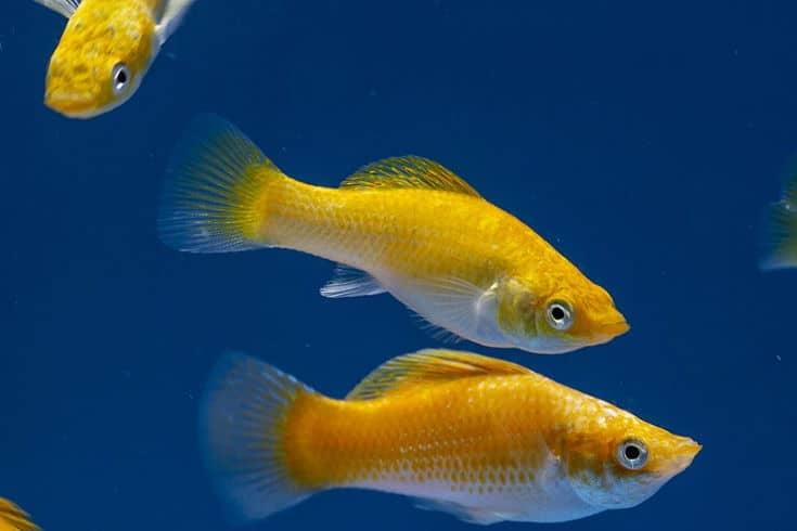 Neon Orange Molly Fish