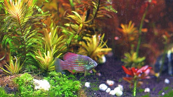 Florida Flagfish (Jordanella Floridae)