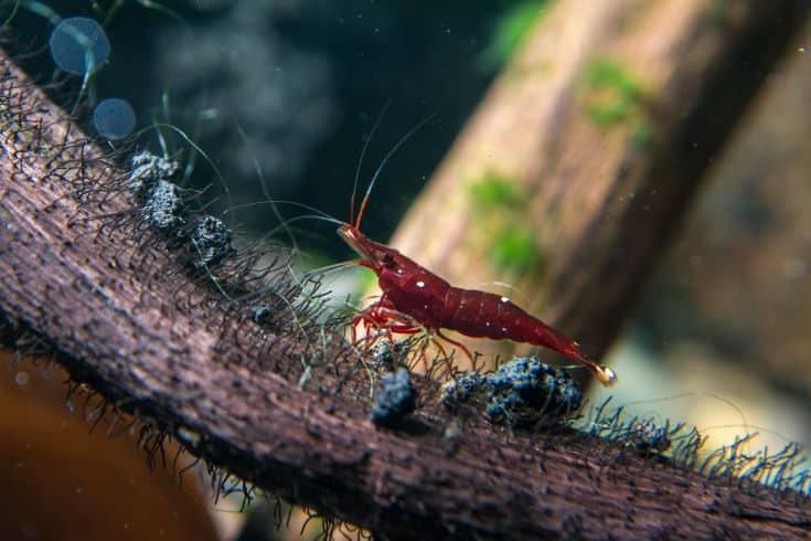 Sulawesi Shrimp (Caridina dennerli)