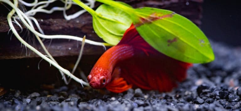 Red Betta hiding on leaves.