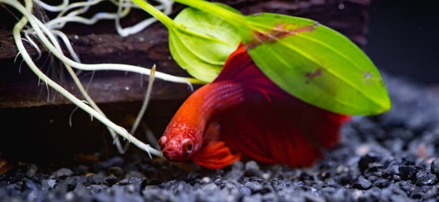 27 Of The Best Plants For Betta Fish - Red Betta hiding on leaves.