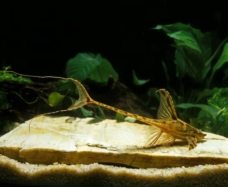 Whiptail Catfish, sturisomas sp., Adult