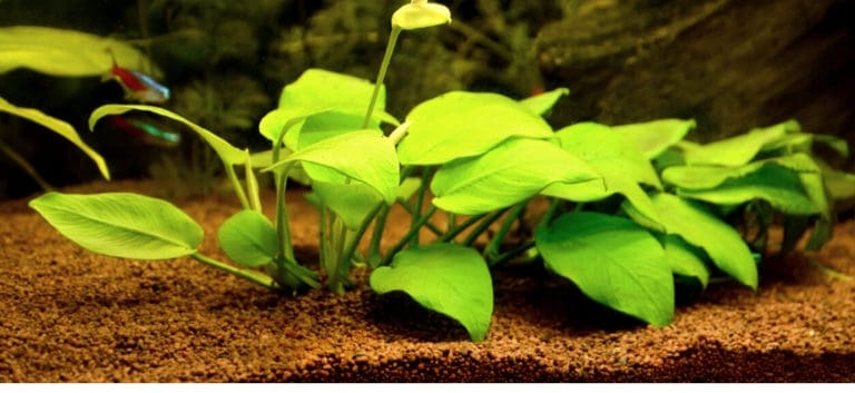 Aquarium plants on a brown colored substrate.
