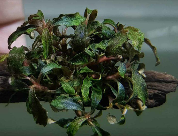 Bucephalandra aquarium plants