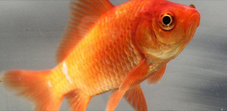 Common Goldfish aka Feeder Goldfish