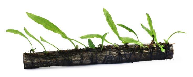 Java fern tied in bogwood over white background
