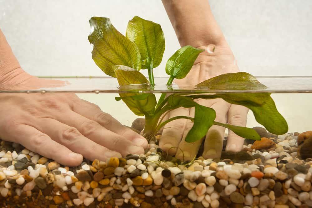 hands of aquarist planting water plant echinodorus in new aquarium