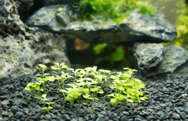 Cuba aquatic plant in freshwater aquarium. Hemianthus callitrichoides.