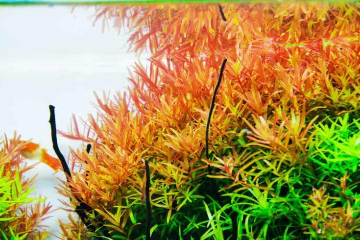 Red Rotala Stem Aquatic Plant