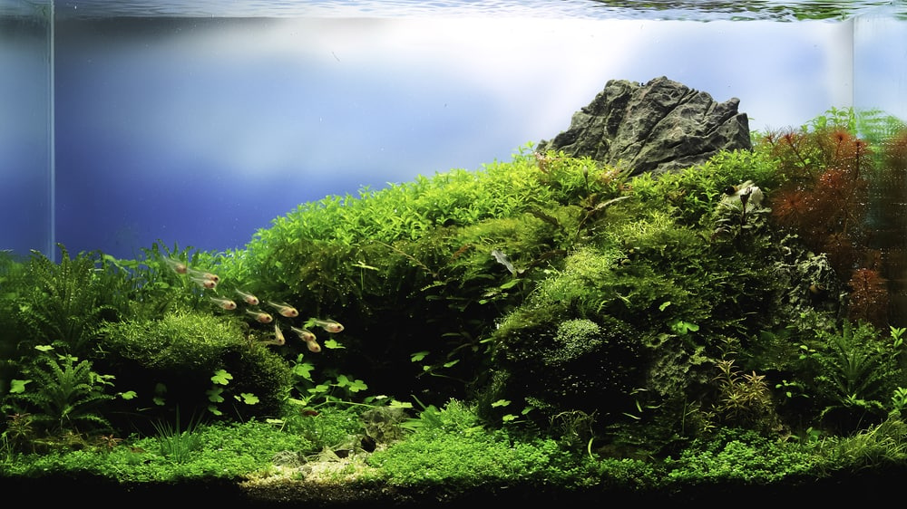 close up image of landscape nature style aquarium tank with a variety of aquatic plants inside.