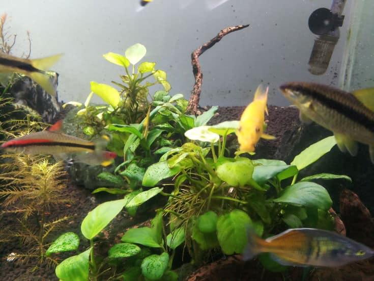 golden algae eater in a aquarium with anubias plant