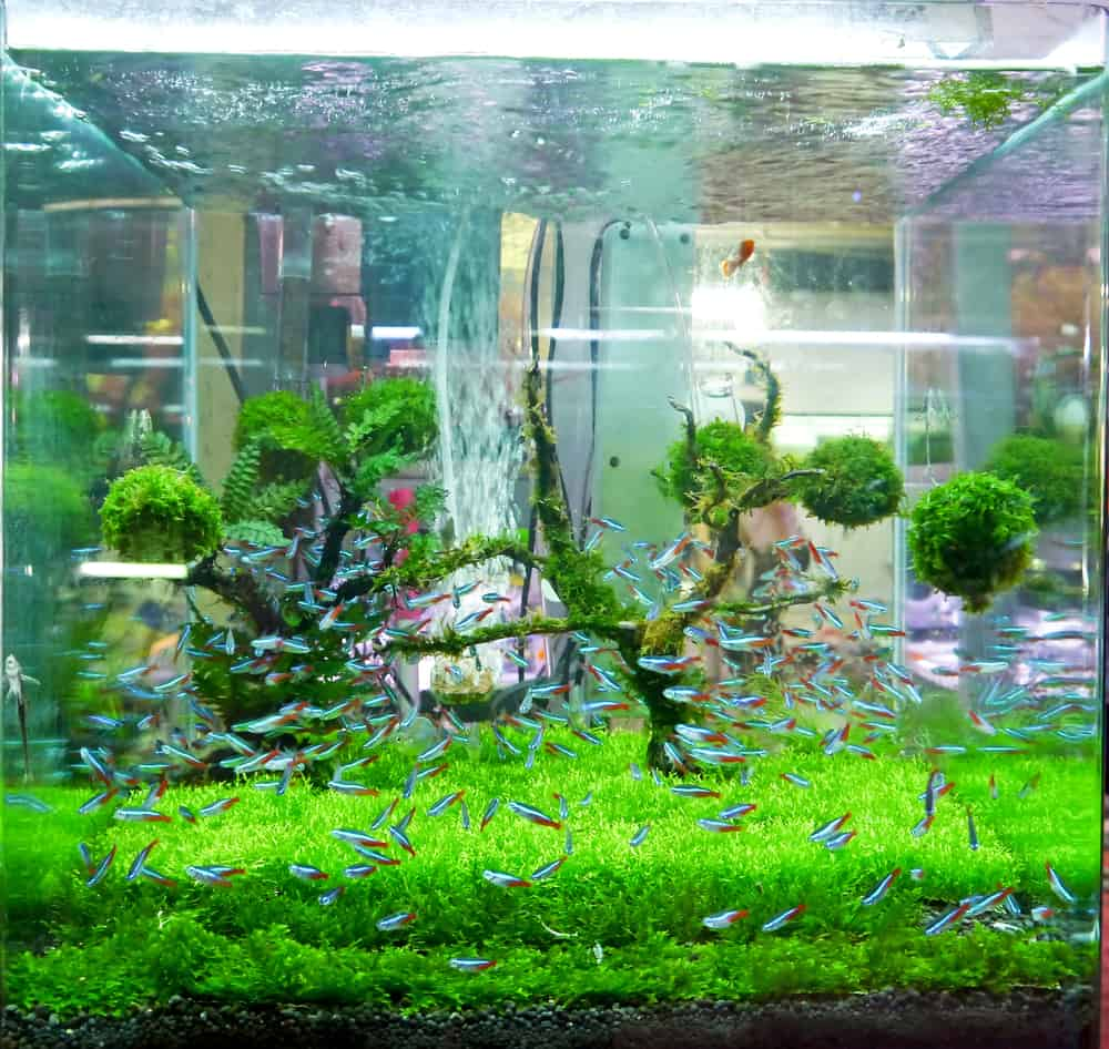 A green beautiful planted tropical fish tank.