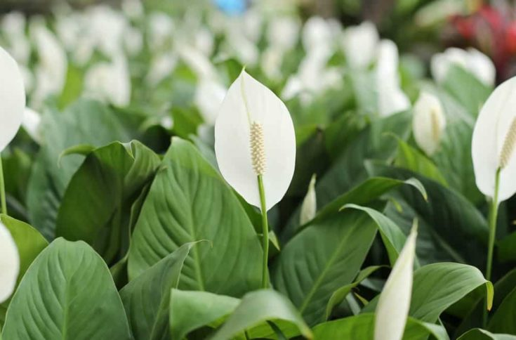 White anthurium andreanum flowers blooming in the garden
