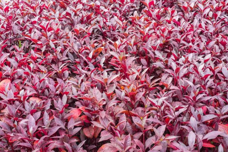 Very beautiful red leaves as background