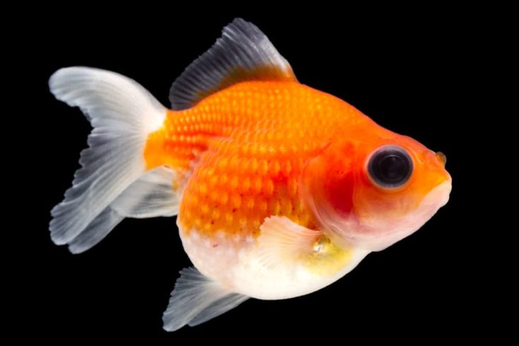 Pearlscale Goldfish Isolated On Black High Quality Studio Shot Manually Removed From Background So The Finnage Is Complete