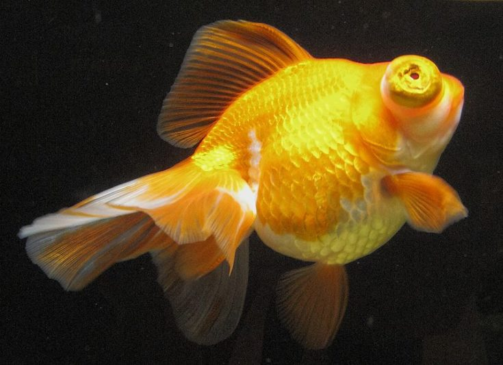 Dragon Eye Goldfish
