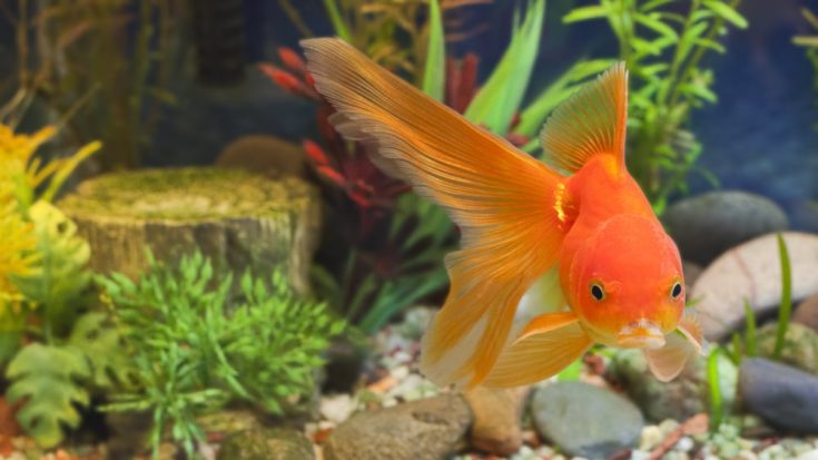 Red Fantail, hardy fancy gold fish in planted aquarium