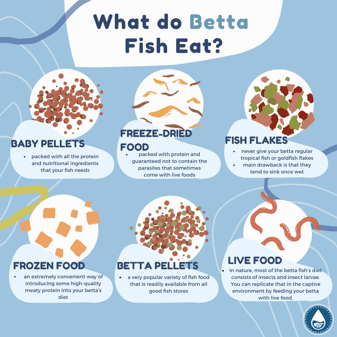 What do Betta Fish Eat_mini infographic