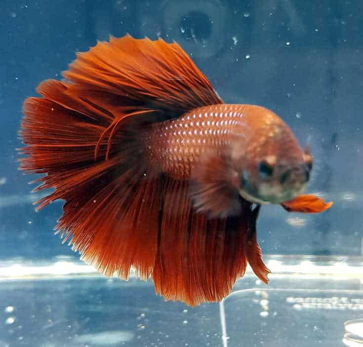 Betta Splendens Siamese Male Fighting Fish - Assorted Colors   Live Tropical Aquarium Fish