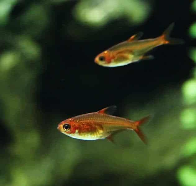 The ember tetra (Hyphessobrycon amandae) is a freshwater fish of the characin family (family Characidae) of order Characiformes.