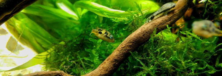 Pea Puffer Fish on the water