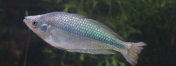 Murray River Rainbow Fish (Melanotaenia fluviatilis) at Adelaide Zoo 13 November 2011