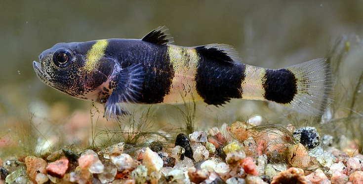 Brachygobius doriae, bumblebee goby, in the aquarium