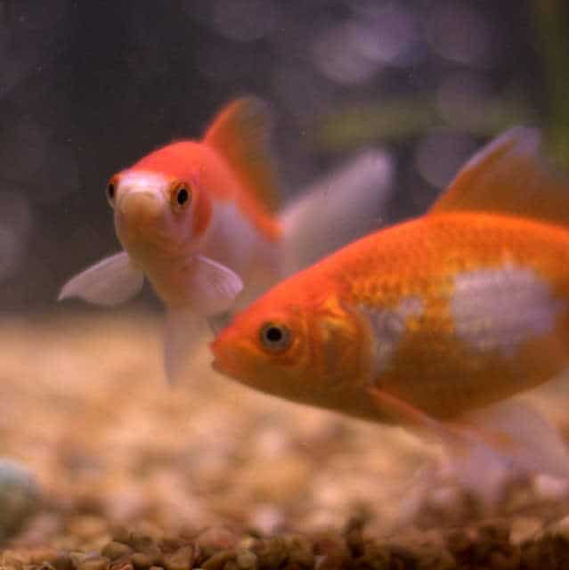Comet Goldfish inside the aquarium