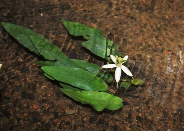 Barclaya longifolia in Thailand crooped