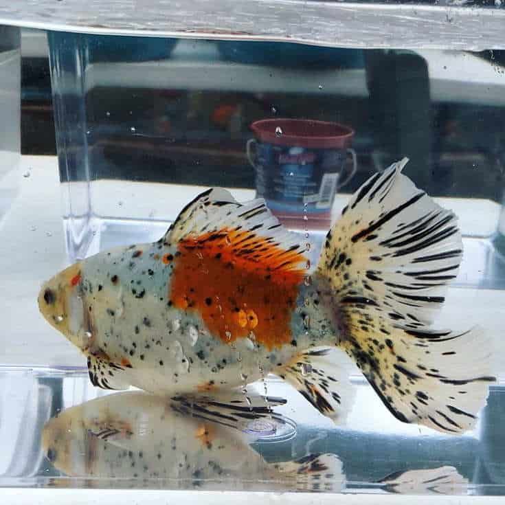 Shubunkin Goldfish A little over 11 inches and CHUNKY