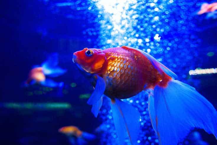 Goldfish ryuikin underwater in aquarium