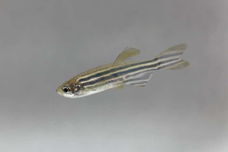 Zebrafish (Danio rerio) with a white background.