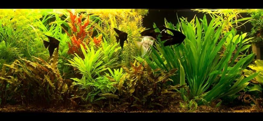 Best Aquariums For Fish Keeping Newbies - Beautiful aquarium tank with black angel fishes and aqua plants.