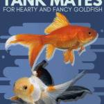 Best Tank Mates for Hearty and Fancy Goldfish-pin