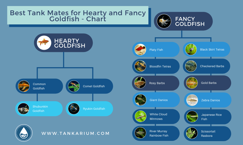 Best Tank Mates for Hearty and Fancy Goldfish - Chart