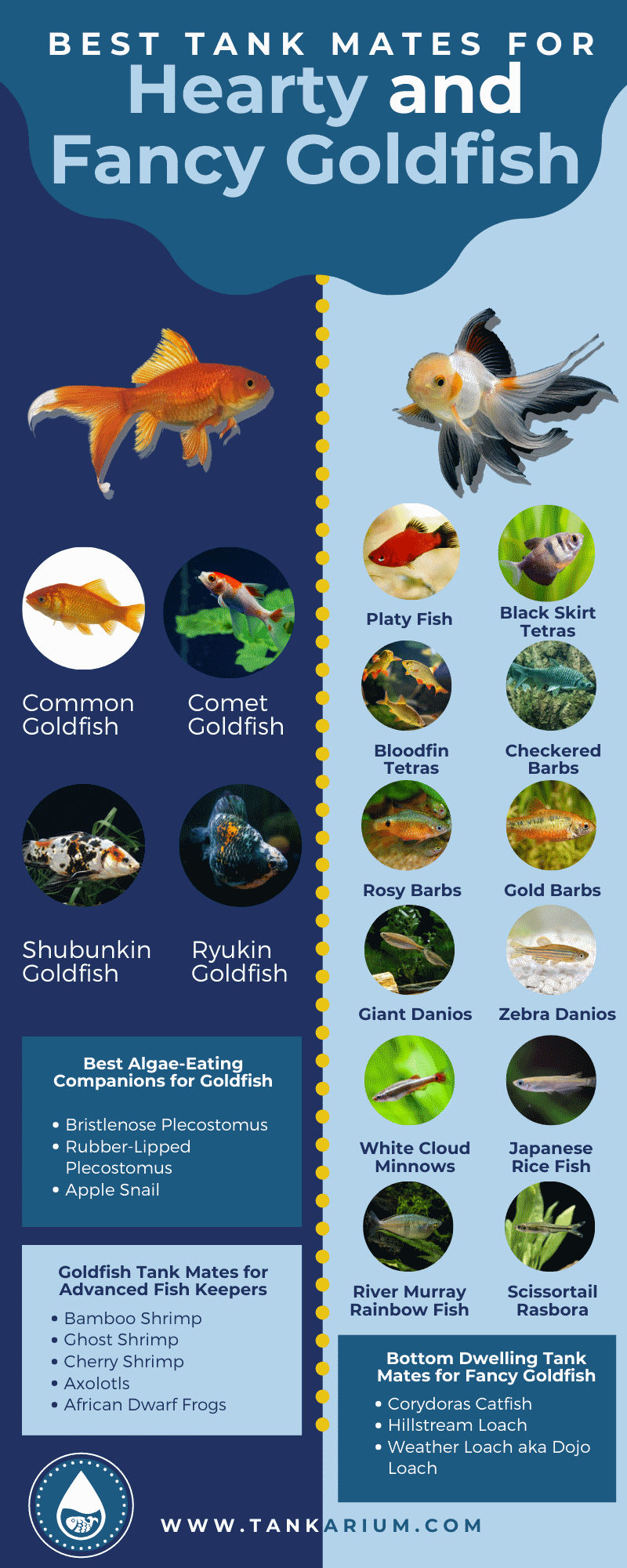 Best Tank Mates for Hearty and Fancy Goldfish - infographics
