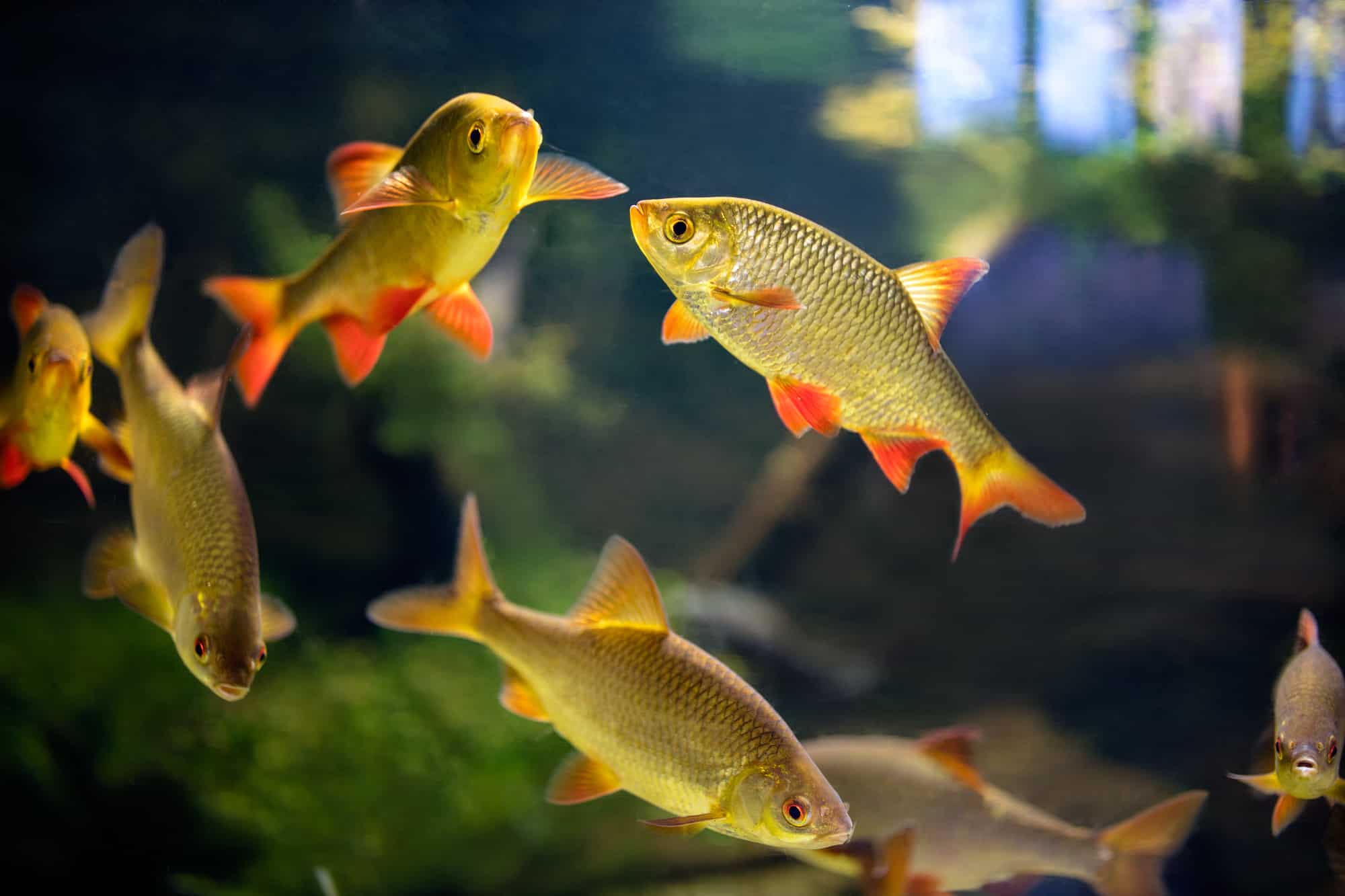 Bloodfin tetra fishes swimming inside tropical aquarium.