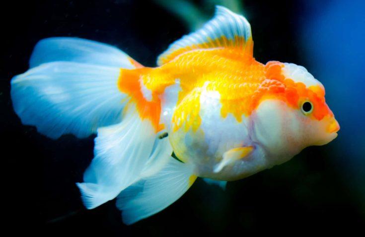 Exotic Goldfish in Aquarium