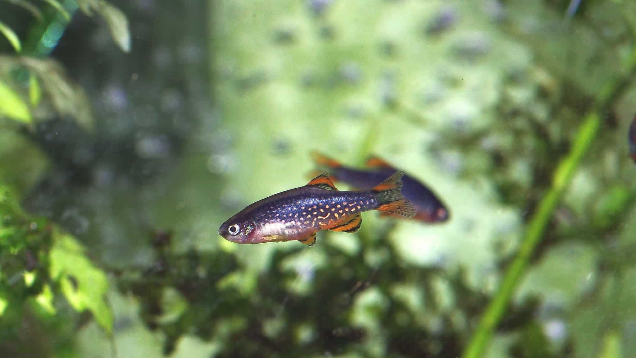 Isolated Celestial Pearl Danio fish in a tank.